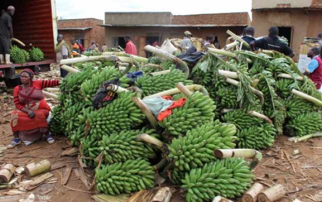 Building climate change resilience of banana farmers in Western Uganda